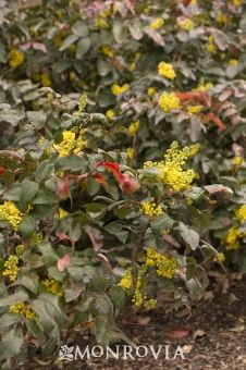 Monrovia's Creeping Mahonia details and information. Learn more about Monrovia plants and best practices for best possible plant performance.