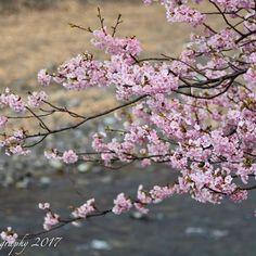 【moe.photography_】さんのInstagramをピンしています。 《location 静岡県河津町 おはようございます😊 寒暖の差が少しづつ出てきましたね… 良い1日を…😌 . . . #ファインダー越しの私の世界 #カメラ好きな人と繋がりたい #写真好きな人と繋がりたい#写真撮ってる人と繋がりたい #フォトグラファー #ダレカニミセタイケシキ #キリトリセカイ #カメラ初心者 #d7100#nikon_top #nikonartists #tokyocameraclub #東京カメラガールズ #IGersJP  #icu_japan #IG_JAPAN  #jp_gallery  #whim_life  #reco_ig  #PHOS_JAPAN  #pics_jp #team_jp_#art_of_japan_  #as_archive  #helios44_love #静岡 #伊豆 #河津桜 #河津桜まつり#cherryblossoms》