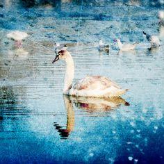 Graceful Swan Photograph Art Print