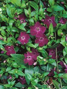 Zimozeleň menšia 'Atropurpurea' (Vinca minor)