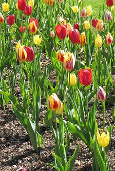 Parrot Tulip Garden 2  By Kit Holland