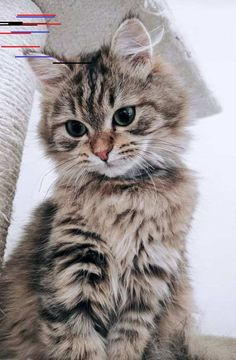 Cat Years: What Are They & How Long Do Cats Live A Maine Coon is a large breed of cat, not just referring to its voluptuous fur but its body mass, too. The Maine Coon lifespan is hardly any. Funny Animal Memes, Funny Cats, Funny Animals, Cute Animals, Funniest Animals, Cute Kittens, Cats And Kittens, Fluffy Kittens, Baby Cats