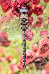 Dragonflies. Amazing detail on the body- looks as if God, himself, quilted the dragonfly's body and brought him/her to life. =)