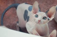 This kitty is just beautiful, Pika needs a little sister