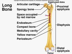The humerus is essential for movement because it is the site of ...