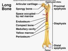 bone jewelry and cavities on pinterest : long bone diagram - findchart.co