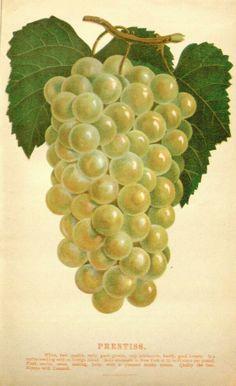 Illustrated descriptive catalogue of American grape vines : - Biodiversity Heritage Library
