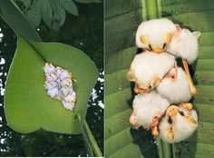 AMAZING - The Honduran white bat cuts the side veins extending out from the midrib of the large leaves of the Heliconia plant causing them to fold down to form a 'tent' that protects them from rain and predators. Sunlight filters through the leaf which gives their white fur a greenish cast. This almost completely conceals them.