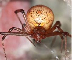 Brown Button Spider, Brown Widow.