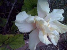 Rosa siria o hibiscus de flor doble, precioso por su gran tamaño y su forma