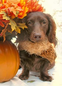 Warm Autumn dachshund.