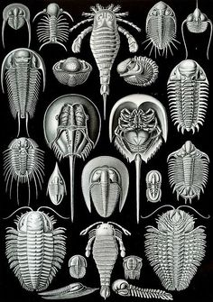 A form of art: Ernst Haeckel,Scientific drawing. A form of art: Ernst Haeckel, Dibujo científico. Ernst Haeckel Art, Art Et Nature, Natural Form Art, Horseshoe Crab, Jellyfish Art, Science Illustration, Nature Illustrations, Ocean Illustration, Creative Illustration