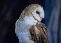 Image result for owls of new mexico