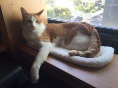 Kiyoshi Cat   Pawshake