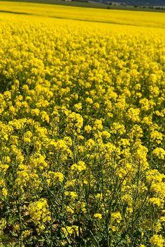 Canola Fields New South Wales Australia.