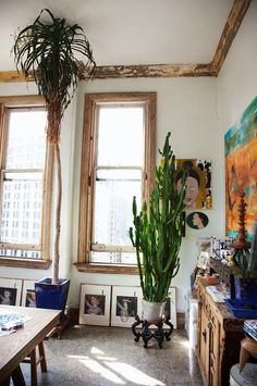 big indoor plants  - in art studio.  Woops - when your plant hits the ceiling, it's time to trim.  Want to see my thoughts on how to do this?  Check out my blog http://theficuswrangler.blogspot.com/