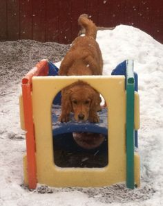 I see you... Can you see me?? #DogGames #GoldenRetrievers #DaycareDogs #DogFun