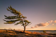 An iconic wind-blown tree stands firm along the shoreline. Cool Landscapes, Landscape Paintings, Tree Paintings, Painting Trees, Landscape Pictures, Nature Pictures, Rainbow Eucalyptus Tree, Pine Tattoo, Winter Painting