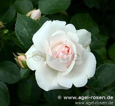 Aspirin Rose (Beetrose)