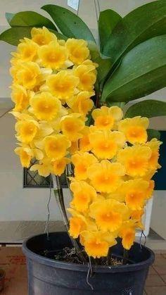 Beautiful Rose Flowers, Unusual Flowers, Rare Flowers, Amazing Flowers, Yellow Flowers, Tropical Flowers, Orchids Garden, Orchid Plants, Flowers Garden