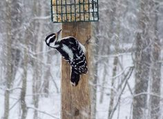 Our Busy Wood Pecker
