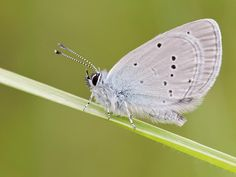 Small Blue Conservation, Moth, Butterfly, Blue, Animals, Wild Animals, Animais, Animales, Animaux