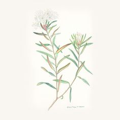 SuoPursu Watercolor Illustration. ©2015 Tarja K. Kuronen.