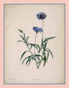 Centaurea cyanus - La Botanique de JJ Rousseau,(1805) Pierre-Joseph Redouté  A Centaurea cyanus, também conhecida popularmente no Brasil como escovinha, marianinha (especialmente na Região Sul) ou simplesmente centáurea em Portugal, é uma pequena planta anual de flor azul a violeta, nativa da Europa e pertencente à família Asteraceae.  http://sergiozeiger.tumblr.com/post/98136200328/centaurea-cyanus-rousseau-jj-la-botanique-de