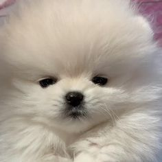 Cute White Puppies, Cute Teacup Puppies, Cute Baby Puppies, Cute Pomeranian, Cute Dog Photos, Cute Animal Pictures, Cute Dogs Breeds, Cute Funny Dogs, Cute Puppy Videos