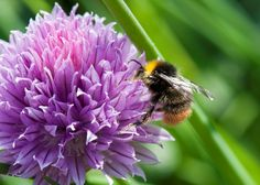 Chives - a delicious evergreen herb and a real treat for bees