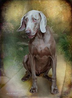 "Photograph, digital, ""A Weimaraner,"" by Angela A. Stanton, Fine Art America."