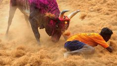 Jallikattu is believed to have been practiced since ancient times. Evidences have been traced through the ancient cave paintings near Madurai, Tamil Nadu, that depict a lone man trying to tame a bull.