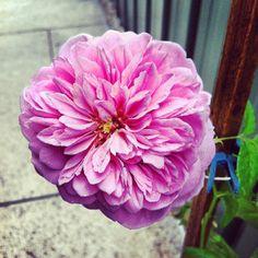 Beautiful Princess Alexandra rose from my garden! :)