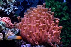 A nice colony of Red Goniopora  (LPS coral)