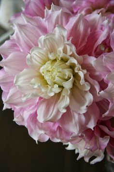 Dahlia 'Gifts Perfection'