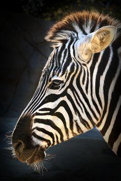 Zebra by PACsWorld - Peter Csanadi