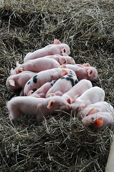 such a cute little baby baby animals Cute animal pictures. - Cute animals world Why can't animals stay babies? Vida Animal, Mundo Animal, This Little Piggy, Little Pigs, Cute Baby Animals, Farm Animals, Fluffy Animals, Baby Pigs, Baby Baby