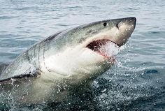 'Anatomy of a great white shark attack' captured in stunning images | GrindTV.com