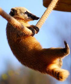 ¿Conoces a los coatíes? Son Habitantes de Xel-Há, curiosos y juguetones.