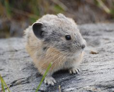 A little pika from Yosemite to brighten your morning! Love wildlife? Like and share the National Wildlife Federation's California pages for more great photos and to help protect nature http://pinterest.com/nwfcalifornia/ and https://www.facebook.com/NWFCalifornia