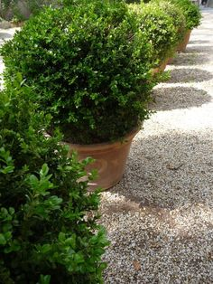 Buxus in terracotta containers