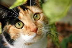 Facts about Calico Cats...  *Calicos were nominated as the official state cat of Maryland on October 1, 2001.  *In many cultures, calicos are considered as bringers of good luck. *These cats are known as money cats in the United States.  *Most calico cats are females.  *Calico is not a particular cat breed. This word only refers to a color pattern of cats' fur and not to a breed.  *A popular good luck ceramic sculpture form in Japan, Maneki Neo, is almost always fashioned after calico cats.
