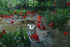 Scarlet ibis. Jurong Bird Park. Singapore Zoo. by Oleg Gudkov on 500px