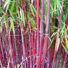 Roter Bambus 'Chinese Wonder',1 Pflanze