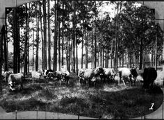 This Florida Memory photograph shows a dairy herd grazing in a pasture in Walton County. The photo was taken in 1929.