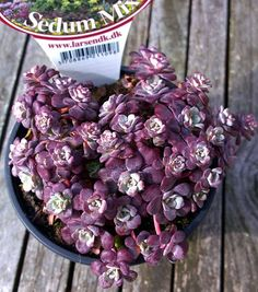 Sedum spathulifolium purpureum (Photo by Anne Vibeke Tossell)