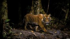 Steve Winter was the winner of the Wildlife Photojournalist Award. The animal is one of fewer than 400-500 wild, critically endangered Sumatran tigers- BBC Nature