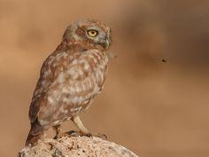 Little Owl (Athene noctua). Photo by Assaf Gavra.