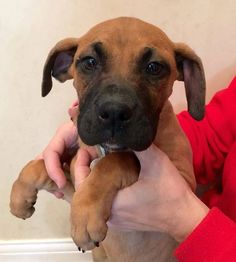 ADOPTED!!! Lizzie is a beautiful baby looking for her forever family. We think Lizzie is possibly a Great Dane and Boxer mix with long legs and huge feet. She is so sweet, just wants to be loved and is definitely the alpha of the litter. Lizzie gives endless kisses and loves everyone. She is awesome in the crate and will sleep all night! causeforpawsohio.com