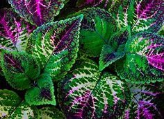 coleus by Frank Somma - beautiful color grows excellent in shady areas  #annual #plant